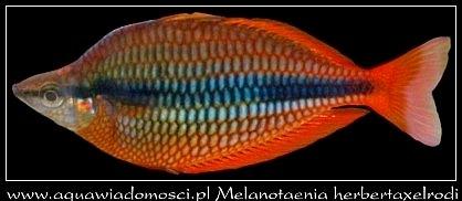 Melanotaenia herbertaxelrodi
