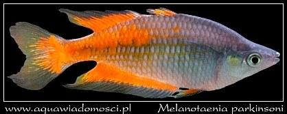 Melanotaenia parkinsoni (T�czanka Parkinsona)