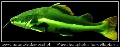 phractocephalus.jpg
