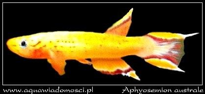 Proporczykowiec z Kap Lopez (Aphyosemion australe)