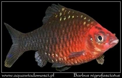 Brzanka purpurowa  (Barbus nigrofasciatus)