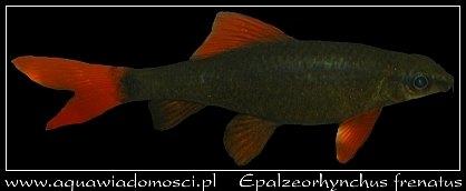 Grubowarg zielony (Epalzeorhynchus frenatus)