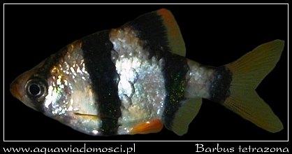 Brzanka sumatrzańska (Barbus tetrazone)