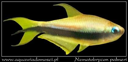 Tetra cesarska (Nematobrycon palmeri)