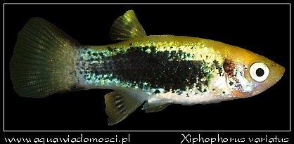 Zmienniak różnobarwny (Xiphophorus variatus)