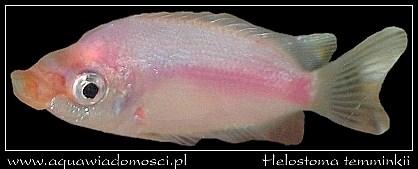 Gurami całujący (Helostoma temminckii)