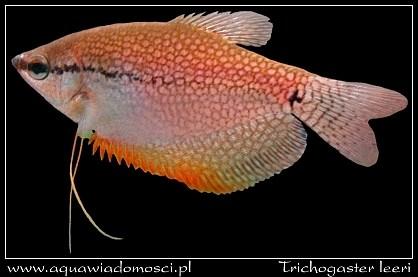 Gurami mozaikowy (Trichogaster leeri)