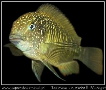 Tropheus sp. Moba II (Murago)