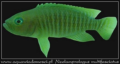 Muszlowiec Wielopręgi (Neolamprologus multifasciatus)