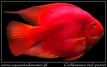 Piel�gnica papuzia (Cichlasoma red parrot)
