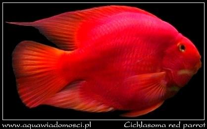 Pielęgnica papuzia (Cichlasoma red parrot)