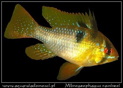 Pielęgniczka Ramireza (Microgeophagus ramirezi)