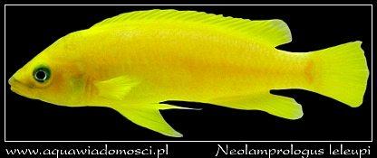 Szczelinowiec Leleupa (Neolamprologus leleupi)