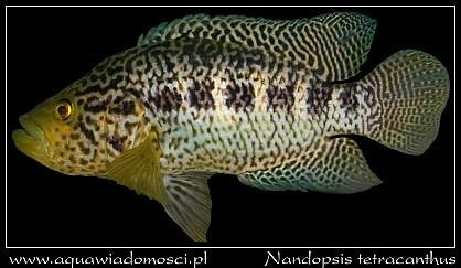 Nandopsis tetracanthus