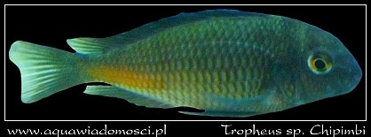 Tropheus sp. Chipimbi