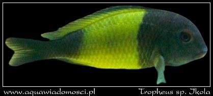 Tropheus sp. Ikola