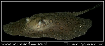 Płaszczka plamista (Potamotrygon motoro)