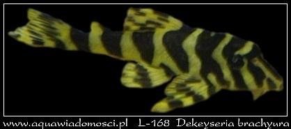L-168 Dekeyseria brachyura