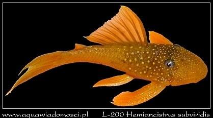 L-200 Hemiancistrus subviridis