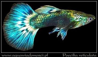 Gupik (Poecilia reticulata)