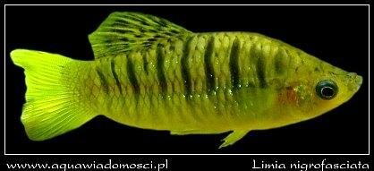 Limka garbatka (Limia nigrofasciata)