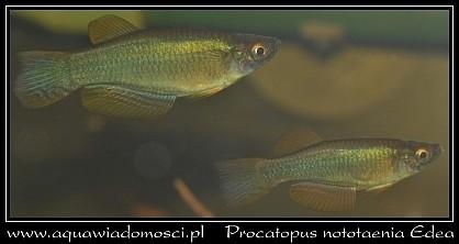 procatopus-edea.jpg