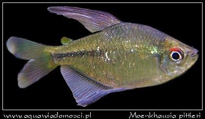 Błyszczyk brylantowy (Moenkhausia pittieri)