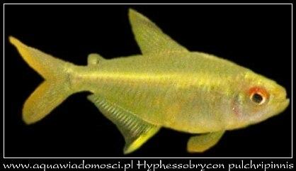 Bystrzyk pięknopłetwy (Hyphessobrycon pulchripinnis)