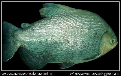 Pirania Pacu (Piaractus brachypomus)