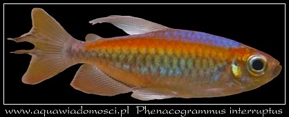 Świecik Kongolański (Phenacogrammus interruptus)