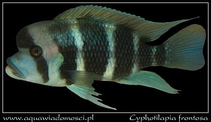 Cyphotilapia frontosa (Pyszczak hełmiasty)