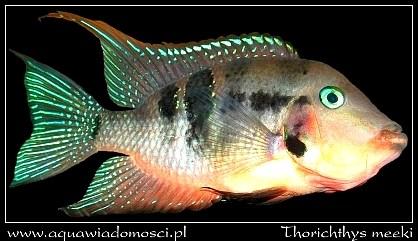 Pielęgnica mekka (Thorichthys meeki)