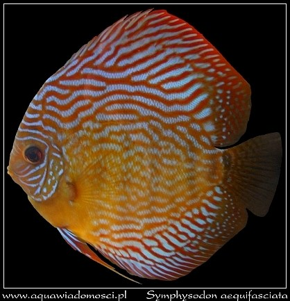 Paletka (Symphysodon aequifasciata)