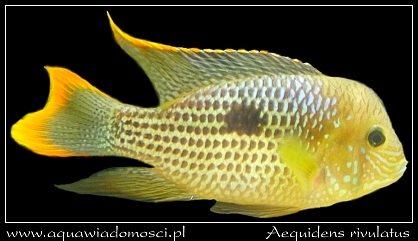 Akara pomarańczowopłetwa (Aequidens rivulatus)