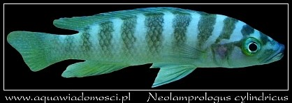 Szczelinowiec cylindryczny (Neolamprologus cylindricus)