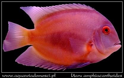 Pielęgnica Uaru (Uaru amphiacanthoides)