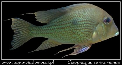 Ziemojad surinamski (Geophagus surinamensis)